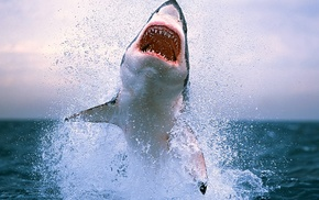 shark, sea, animals