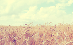 landscape, field, nature, sky, wheat