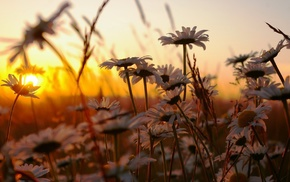 nature, flowers, chamomile, sunset, grass