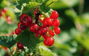 berries, leaves, macro, shrubs
