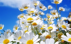 nature, chamomile