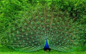 tail, bird, animals