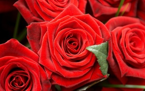 flowers, macro, roses