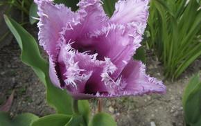Цветок, сиреневый тюльпан, цветы