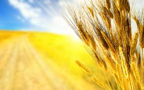 autumn, grass, macro, wheat