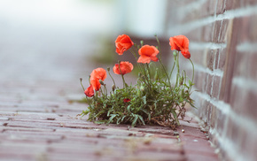 plant, photo, poppies, macro, flowers