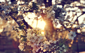 Sun, tree, flowers, cherry, twigs