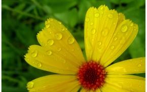 yellow, flower, macro