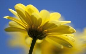 yellow, macro, flower