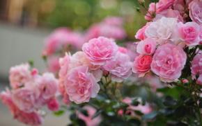 macro, flowers, roses