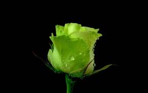 rose, macro, drops