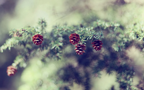 cones, branch, wallpaper, nature