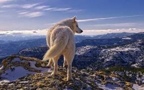 animals, snow, mountain, sky, wolf