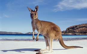 Australia, animals, beach