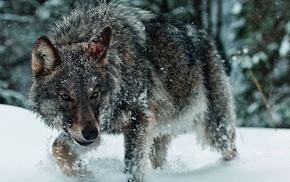 animals, winter, snow, wolf