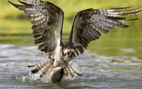 animals, eagle, bird, fly, fish