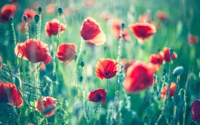 flowers, field, summer, bokeh, poppies