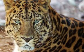 leopard, lies, mustache, muzzle, animals
