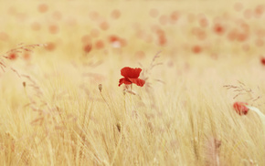 field, flowers, poppies