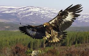 animals, bird, wings, predator, fly
