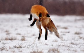 bounce, animals, winter, fox, field