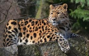 leopard, muzzle, animals, mustache