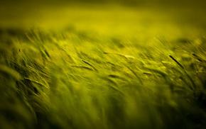 макро, поле, зеленое, колоски