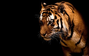 animals, wallpaper, tiger