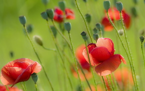poppies, summer, nature, field