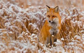 animals, fox, snow, winter, animal