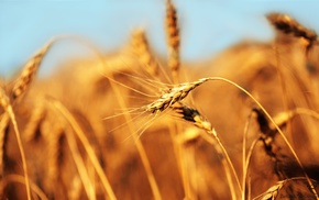 crops, macro, wheat, closeup, barley
