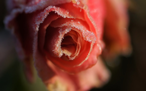macro, petals, flowers, flower, rose