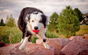 dog, animals, background