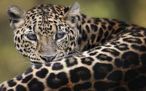 muzzle, leopard, animals