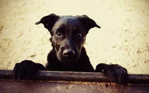 dog, animals, black, eyes, muzzle