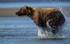 drops, bear, splash, water, animals