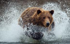 bear, animals, drops, splash