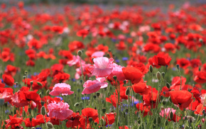 poppies, flowers