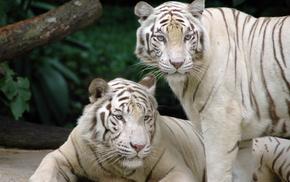 белые тигры, животные, кошки