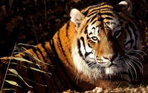 tiger, animals, lies, muzzle