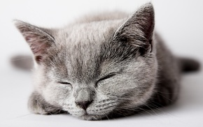 animals, kitten, gray, cat
