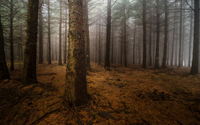 nature, night, mist, pine trees, forest