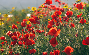 field, poppies, flowers