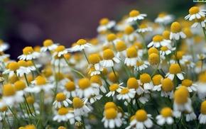 macro, nature, chamomile