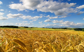 nature, field, sky, summer, wheat