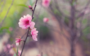 tree, Japan, flowers, flower, spring