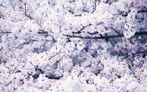macro, bloom, spring, tree