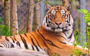 animals, tiger, muzzle, lies