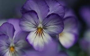 flower, petals, flowers, purple