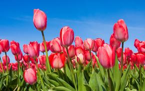 flowers, tulips, sky, spring